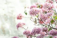 Rosa Trompetenbaum oder Tabebuia-rosea; frische rosa Blumen und gree Stockbild