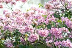 Rosa Trompetenbaum oder Tabebuia-rosea; frische rosa Blumen und gree Lizenzfreies Stockbild