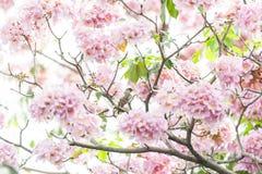 Rosa Trompetenbaum oder Tabebuia-rosea; frische rosa Blumen und gree Lizenzfreie Stockbilder