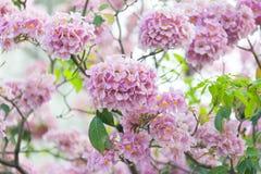 Rosa Trompetenbaum oder Tabebuia-rosea; frische rosa Blumen und gree Stockbilder