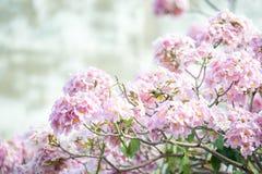 Rosa Trompetenbaum oder Tabebuia-rosea; frische rosa Blumen und gree Lizenzfreie Stockfotografie