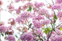 Rosa Trompetenbaum oder Tabebuia-rosea; frische rosa Blumen und gree Stockfoto