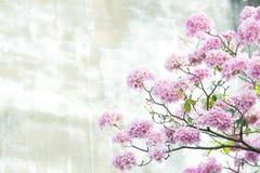 Rosa Trompetenbaum oder Tabebuia-rosea; frische rosa Blumen und gree Stockfotos