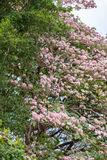 Rosa Trompetenbaum (Tabebuia-heterophylla) im Garten, Thailand Lizenzfreie Stockfotos