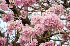 Rosa Trompetenbaum (Tabebuia-heterophylla) im Garten, Thailand Lizenzfreie Stockfotografie