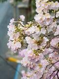 Rosa Trompetenbaum (Tabebuia-heterophylla) im Garten, Thailand Stockbild