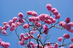 Rosa Trompetenbaum und -blume Stockbilder
