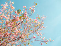Rosa Trompetenbaum und Tabebuia-rosea Lizenzfreie Stockbilder