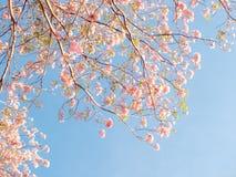 Rosa Trompetenbaum und Tabebuia-rosea Stockfotos
