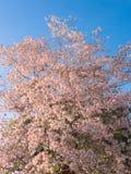 Rosa Trompetenbaum und Tabebuia-rosea Lizenzfreie Stockfotos