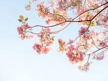 Rosa Trompetenbaum und Tabebuia-rosea Stockfoto