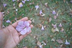 Rosa Trompetenblume an Hand mit Hintergrund des grünen Grases Stockfotos