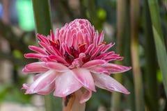 Rosa tropische Blume: Etlingera-elatior, alias Fackelingwer oder Lilie des roten Ingwers lizenzfreie stockfotografie