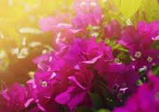 Rosa tropische Blumen eines Bouganvillas in den weichen warmen Farben Stockfotografie
