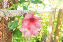 Rosa tropisk blomning Arkivfoto