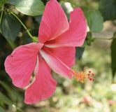 rosa tropiskt för orchid Arkivbild