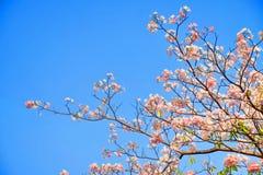 Rosa trumpetblomma på blå himmel Royaltyfri Foto