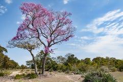 Rosa trumpetträd i Pantanalen i Brasilien arkivfoto
