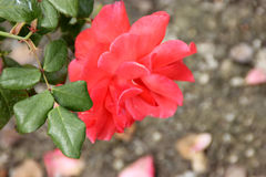 Rosa & x27; Trwa Peace& x27; zdjęcie stock