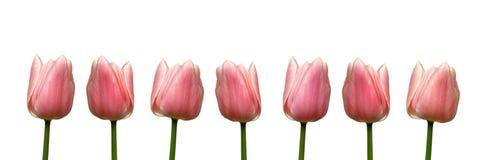 Rosa Tulip Banner Fotografering för Bildbyråer