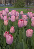 Rosa Tulip Garden lizenzfreie stockfotos