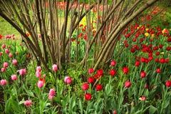 Rosa, tulipanes rojos y amarillos y un arbusto en un jardín fotos de archivo libres de regalías