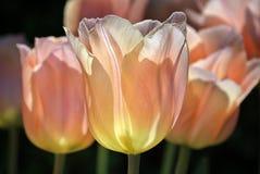 Rosa tulipans Stockbild