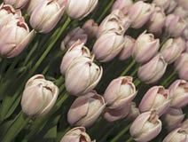 Rosa tulips3 Lizenzfreies Stockbild