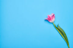 Rosa tulpan över blå bakgrund royaltyfri bild