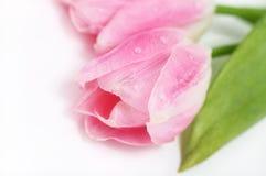 rosa tulpan Arkivfoto