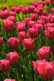rosa tulpan Royaltyfri Bild