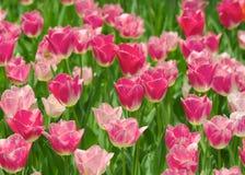 rosa tulpan Royaltyfri Foto