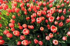 rosa tulpan Fotografering för Bildbyråer