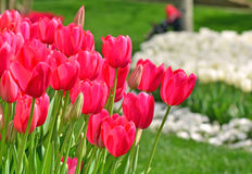 rosa tulpan Royaltyfri Fotografi