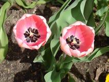 Rosa tulpan beklär överkanten Arkivbild