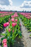 Rosa tulpan för blommor i fält fotografering för bildbyråer