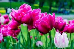 rosa tulpan för closeup arkivbilder
