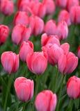 rosa tulpan för detaljer Arkivfoto