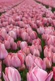 rosa tulpan för fält Royaltyfri Fotografi