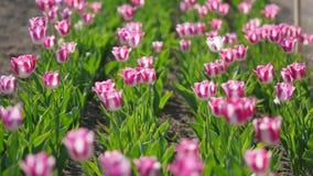 rosa tulpan för fält stock video