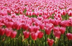 rosa tulpan för fält Royaltyfri Bild