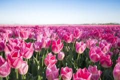 rosa tulpan för fält Royaltyfria Bilder