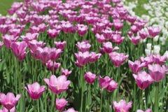 rosa tulpan för fält Arkivfoto
