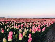rosa tulpan för fält Royaltyfri Foto