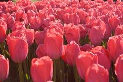 rosa tulpan för fält Arkivfoton