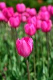 rosa tulpan för färger Fotografering för Bildbyråer