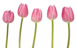 rosa tulpan för grupp Royaltyfri Bild