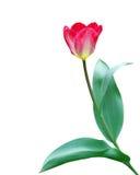 rosa tulpan för isolate Royaltyfria Bilder