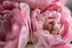 Rosa tulpan för makroblomma i blom Royaltyfria Bilder