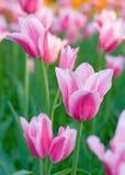 rosa tulpan för park Royaltyfri Fotografi